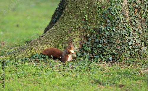 Fototapeten,eichhörnchen,herbst,mantel,rothaarige