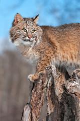 Bobcat (Lynx rufus) Turns Right on Stump