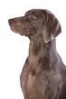 Weimaraner,  hunting dog