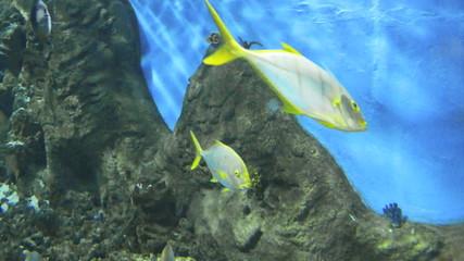 caranx shoal
