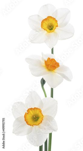 Fotobehang Narcis daffodil