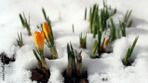Snowdrop time lapse, spring, winter, snow melts