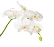 Fototapeten,weiß,orchid,orientalisch,blumenstrauss