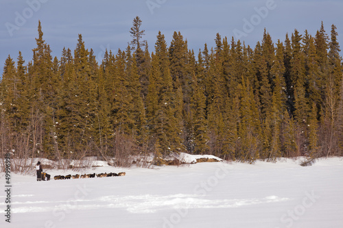 Taiga winter landscape and dogs pull musher sled