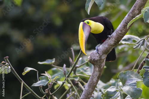 In de dag Toekan Chestnut-mandibled Toucan, or Swainson's Toucan (Ramphastos am