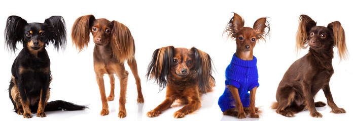 Collection of Russian Toy Terrier on a white background.
