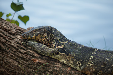 female of a monitor lizard