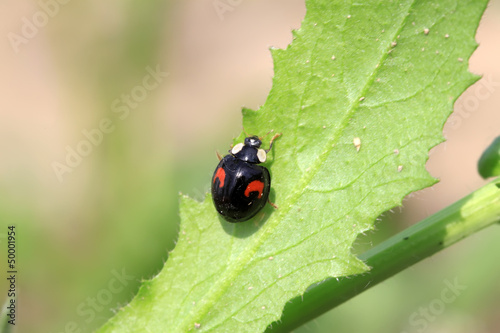 a kind of lady beetles on green leaf in the wild