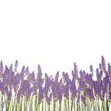 Fototapety Vector Illustration of a Lavender Background