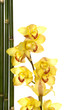 yellow orchid background