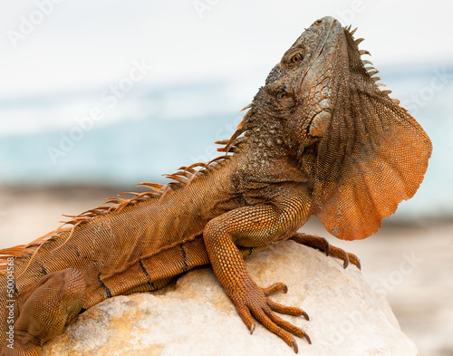 Iguana in Cancun, Mexico