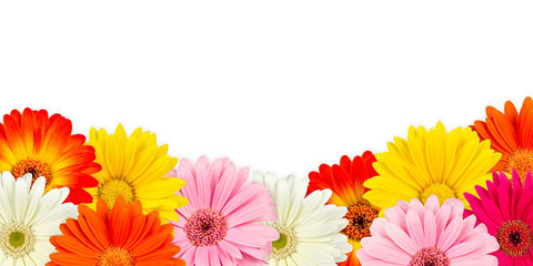 colorful gerbera blossoms