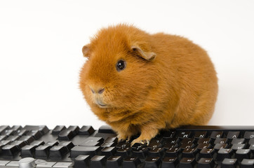 multimedia pig