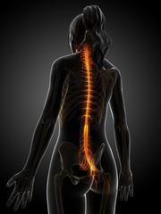 3d rendered illustration of the female nervous system.