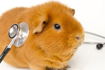guinea examination