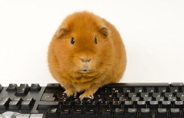 IT-pig 2.0