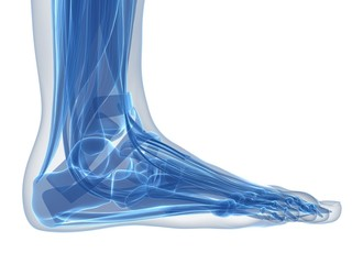 3d rendered illustration of the human foot