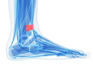 foot anatomy - superior extensor retinaculum