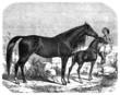 Arabian Purebred Horses