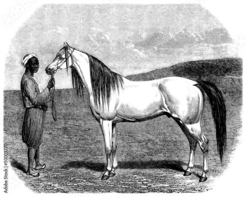 Arabian Purebred Horse