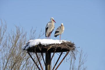 White storks on a nest, Salburua park, Vitoria(Spain)