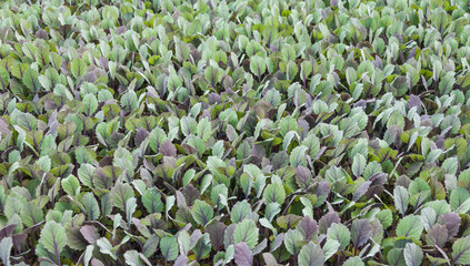 Closeup of young Red Cabbage in a modern Dutch greenhouse