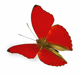 red butterfly in flight (Cymothoe sangaris)