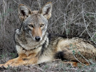 Coyote Relaxing in South Texas