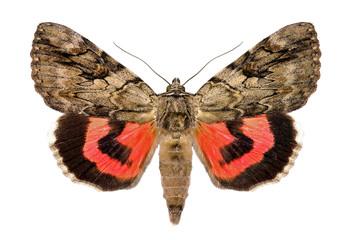 Rosy underwing, Catocala electa, an European Moth