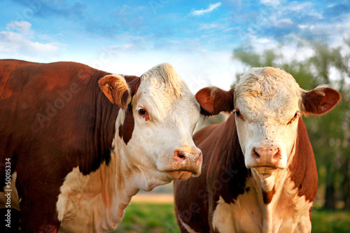 Tuinposter Koe Two curious cows