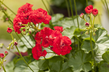 Red Pelargonium flowers in garden, macro photo