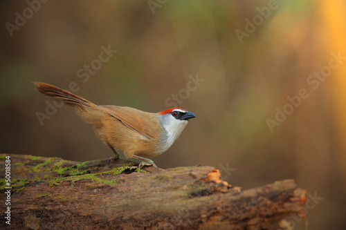 Chestnut-capped Babbler on stage, thailand
