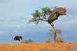 Ostrich and Acacia tree, Kalahari desert