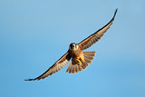 Lanner falcon in flight