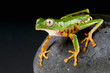 Orange legged leaf frog / Phyllomedusa hypochondrialis