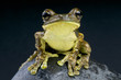 Pepper Tree Frog / Trachycephalus venulosus