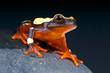 Clown Tree Frog / Dendropsophus leucophyllatus
