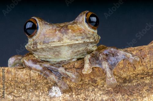 Giant Brazilian Tree frog / Hypsiboas boans