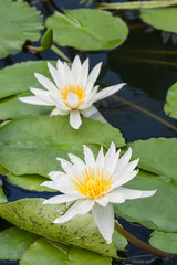 two white water lillies