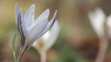 White Crocus / Spring Flowers (Macro)