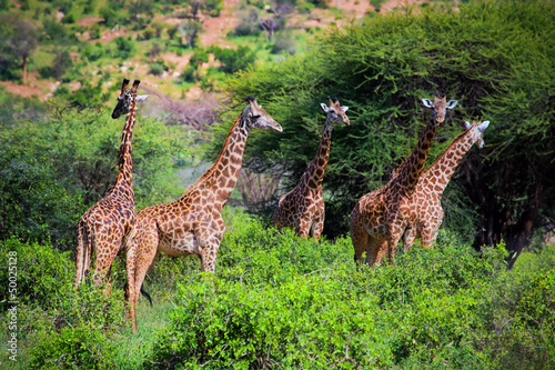 Giraffes on savanna. Safari in Tsavo West, Kenya, Africa