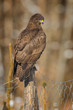Buzzard on a fence post