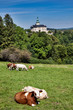 Czech Republic - castle Frydlant with cows