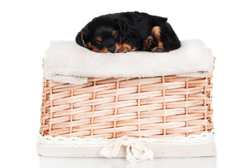 sleeping puppy on a basket