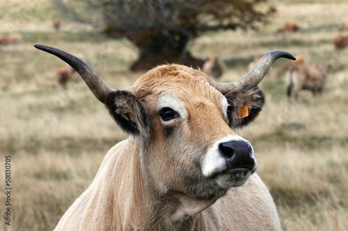 Papiers peints Vache vache aubrac