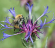 Bee pollinate beautiful cornflower