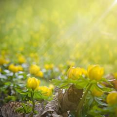 Frühjahrsblüher Winterlinge,  Eranthis hyemalis im Sonnenschein