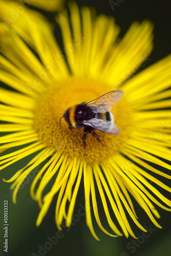 Bee landing on a yellow daisy