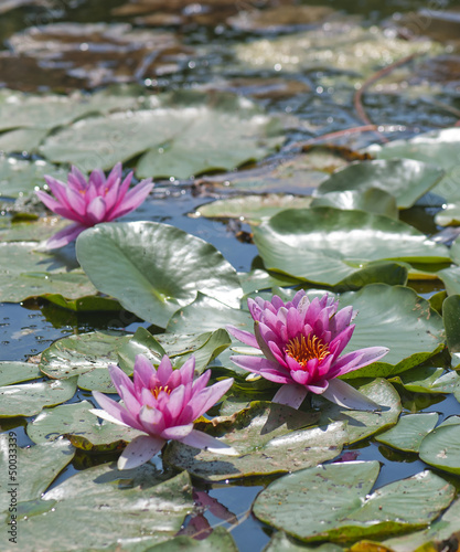 Pink flower water lily