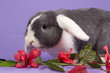Mini-lop rabbit with pink flowers